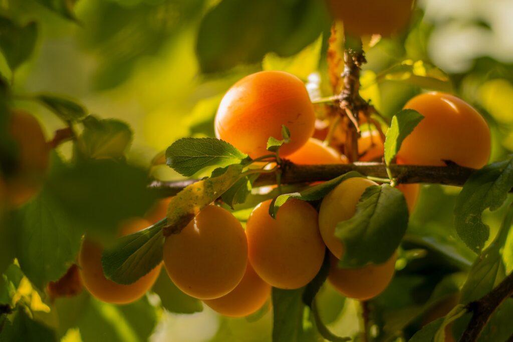 Aprikosenbaum mit Früchten